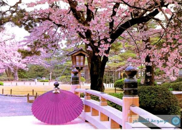 بالصور زهرة الساكورا , صور زهرة الربيع ساكورا 74874 2