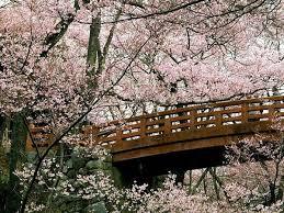 بالصور زهرة الساكورا , صور زهرة الربيع ساكورا 74874 3