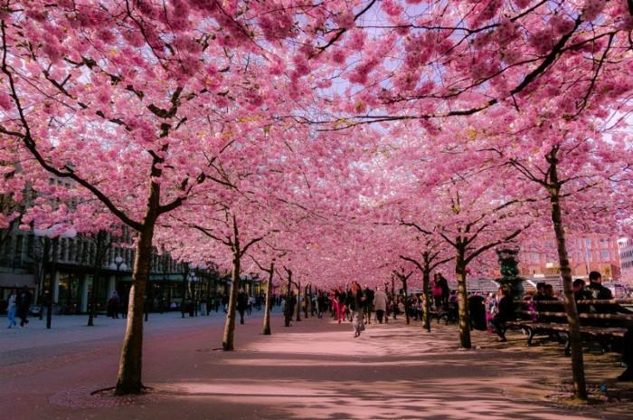 بالصور زهرة الساكورا , صور زهرة الربيع ساكورا 74874 5