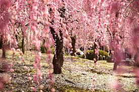 بالصور زهرة الساكورا , صور زهرة الربيع ساكورا 74874 7