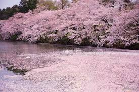 بالصور زهرة الساكورا , صور زهرة الربيع ساكورا 74874 8