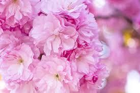 بالصور زهرة الساكورا , صور زهرة الربيع ساكورا 74874 9