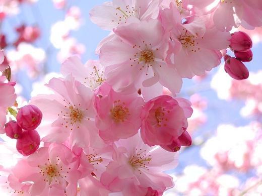 بالصور زهرة الساكورا , صور زهرة الربيع ساكورا 74874
