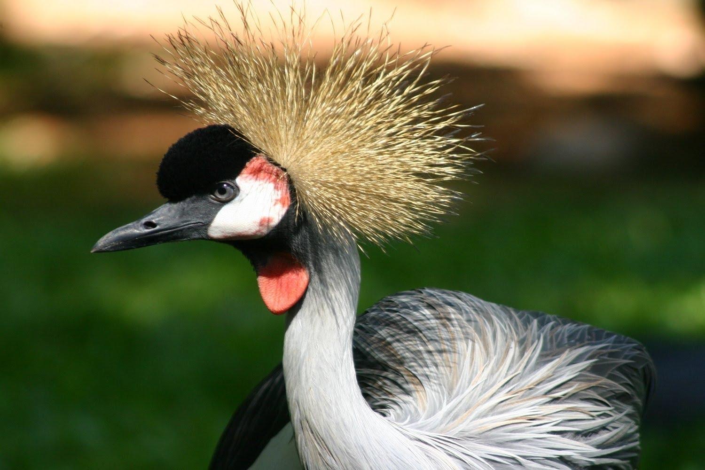 صوره طائر الغرنوق , معلومات عن طائر الغرنوق الساحر