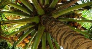 شجرة جوز الهند , فوائد واستخدامات جوز الهند